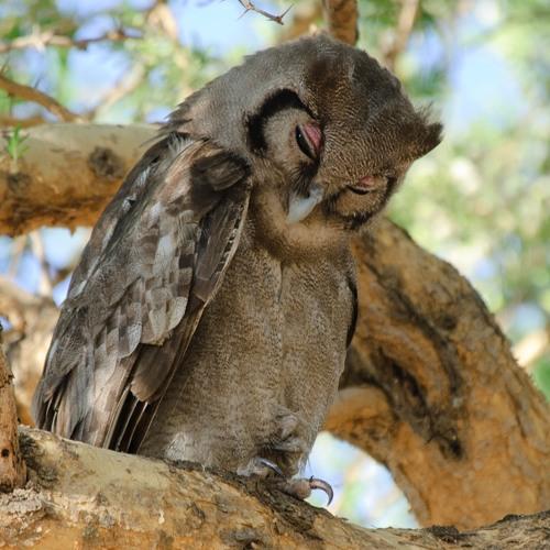 Verreaux's (Giant) Eagle-Owl, Ruaha National Park, Tanzania (2011-09-02-C2-1031c)