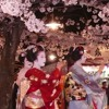 Japanese cherry trees at evening