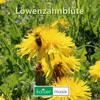 Löwenzahnblüte ===> Free Download