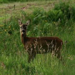 Roe Deer Barks - Foret de Senonches, Le Perche, France