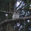 Bird Call - Barred Owl