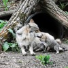#5: How Mexican Wolves Have Become Dangerously Inbred