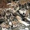 Mes Petits Loups