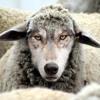 LOST SHEEP (version 1)