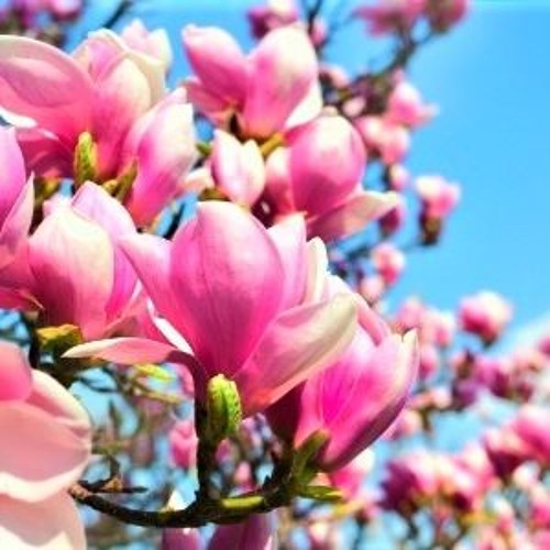Tulip Tree. Soprano, Alto, Tenor Recorders.
