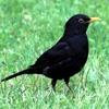 Spring Forest - Blackbird Song - Bird Singing- Chirping - 3 Hours of Relaxing Nature Sounds