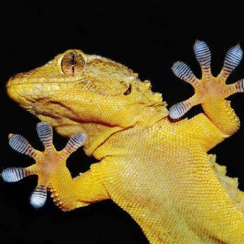 Episode 772 -  Super Sticky Geckos Glue
