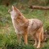 Coyote Pup Distress