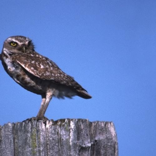 Burrowing Owl Audio