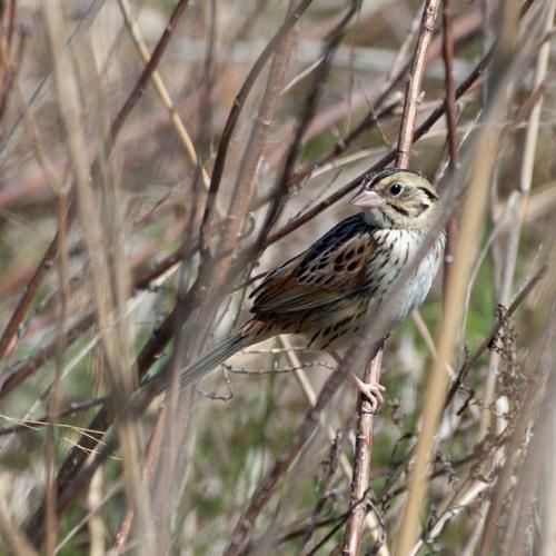 Henlow's Sparrow Audio