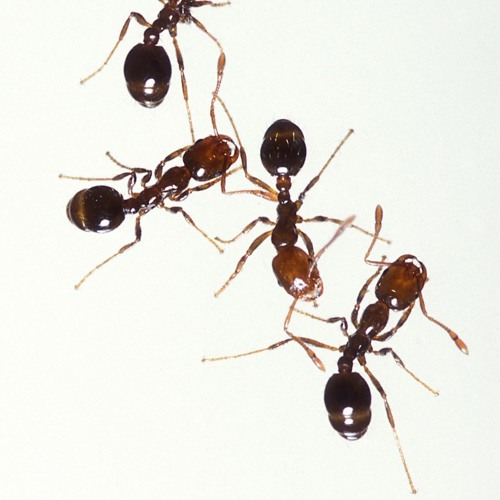 Episode 781 -  Sniffing a Connection Between Humans and Ants