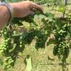 How A Texas Vine Saved European Wine
