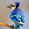Wheat Ridge Early Morning Bird Sounds #1