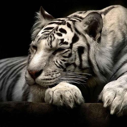 Long Live White Tiger