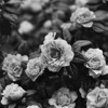Chopin - Spring Waltz Audacity