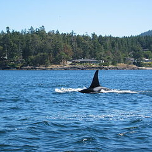Orca pod calls drowned out by passing ship