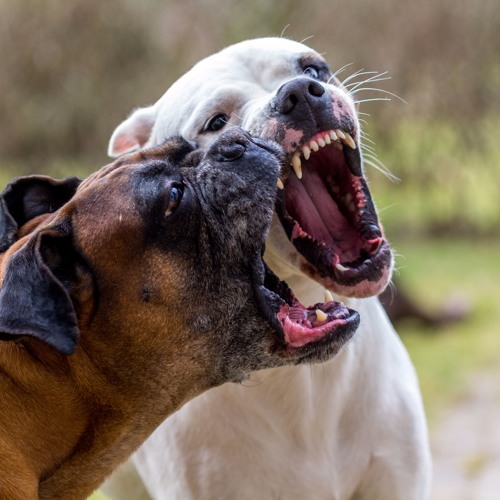 Dog to Dog Rough Play - Pt. 1