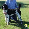 Standard Poodle Puppies for Sale at Renowned Poodles
