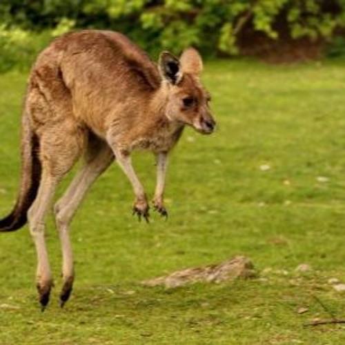 Kenguru på rømmen
