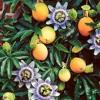 Passion Fruit Drake Cover; Bianca Blu