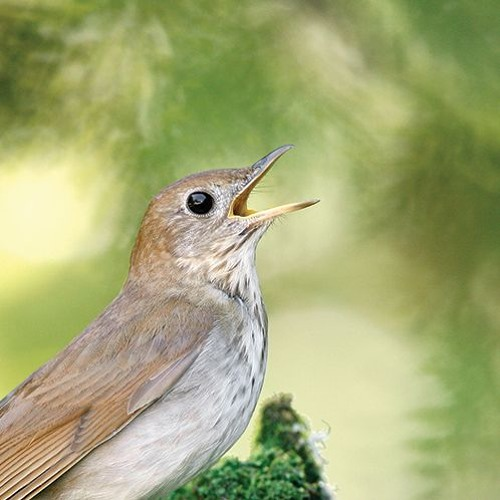 Veery thrush song slowed down