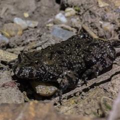 Fire-bellied Toad (Bombina bombina)