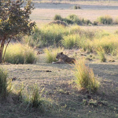 Encounter with Lions on foot in Zimbabwe