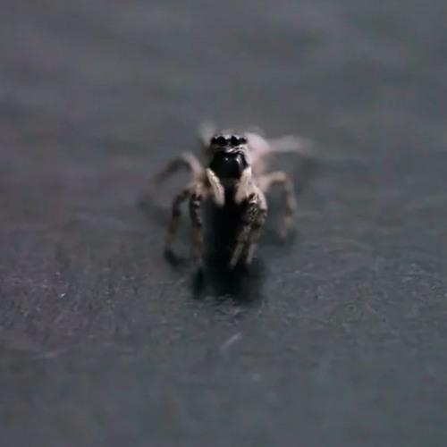 Spider Studies