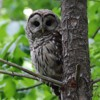 Barred owl - begging call