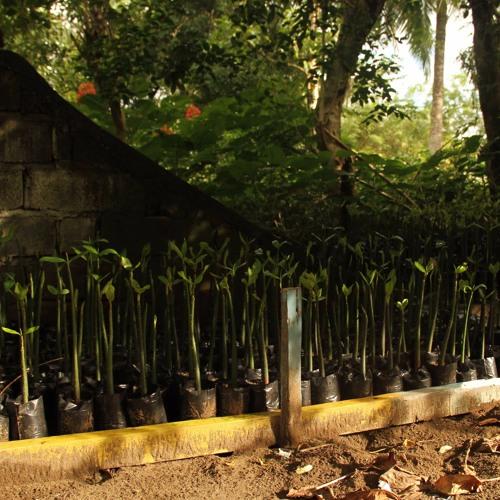 Manglar, viveros y semillas. Reforestando, germinando y conservando desde Panamá.