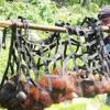 BKSDA Aceh Temukan Orang Utan Tersesat di Kebun Sawit