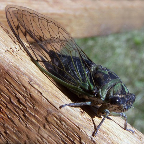 Episode 810 - Why 'winging it' is Tough for Cicadas