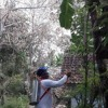 Ribuan Ulat Bulu 'Serbu' Permukiman Warga Banyuwangi