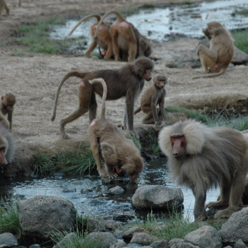 """Bonus Interview with Dr. Larissa Swedell: """"Social Behavior and Sexual Conflict in Hamadryas Baboons"""""""