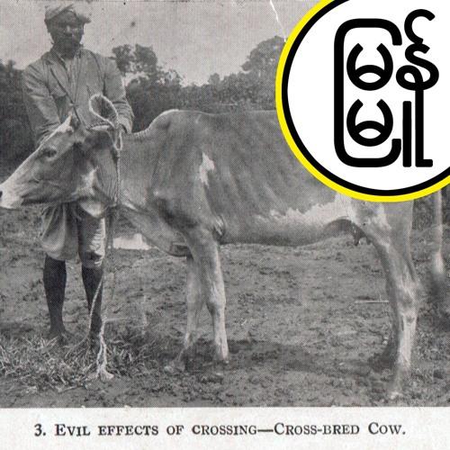 Milk & Animal History in Burma