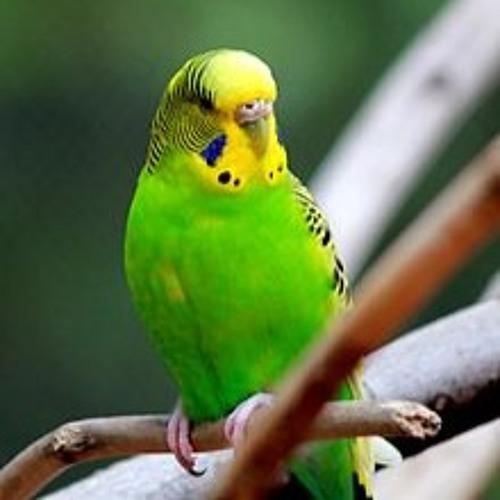 Parakeet Dancing