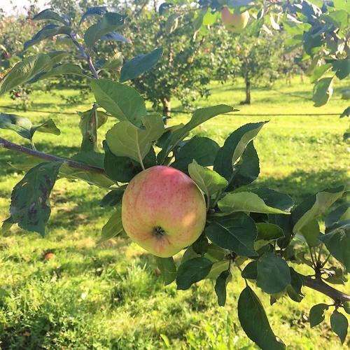 10: Æbleekspertens gode råd - lige til at plukke