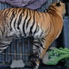 Habitat Harimau Sumatera Kini Rata-rata Jadi Perkebunan Sawit dan HTI