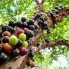 Coração cansado - frutas e plantas - 07.06.2017 (pgm-1985)
