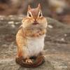 Chipmunk Hawk Alarm Call