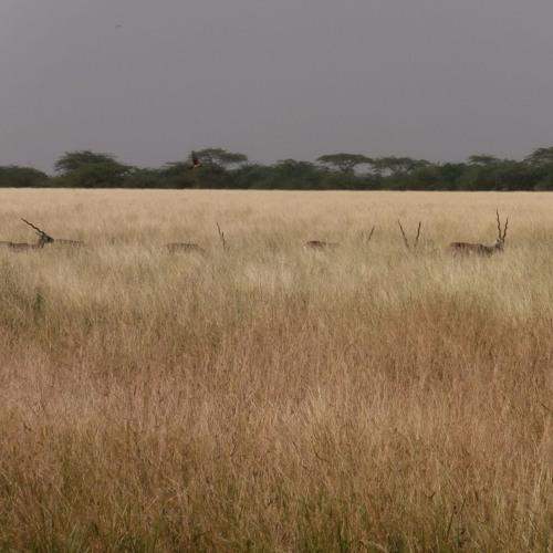 Blackbuck - Antilope cervicapra