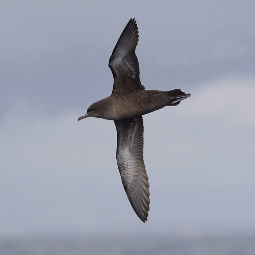 Short-tailed Shearwater birds