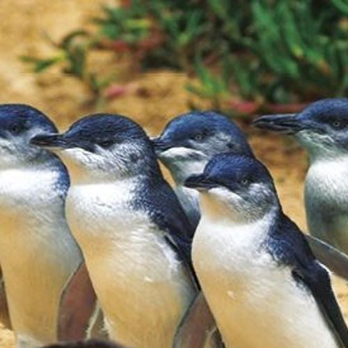 Penguin Burrows at Phillip Island