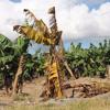 ФАО: банановые плантации под угрозой mp3