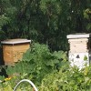 Bees in Bozeman