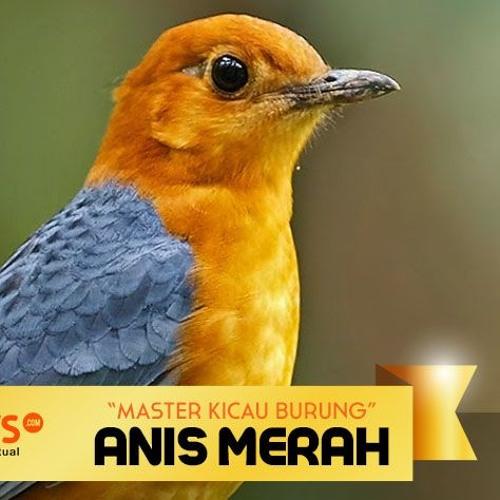 Master Kicau Burung Anis Merah By Hobinews Com On Soundcloud Hear The World S Sounds