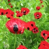 Anne Peden on the Poppy Appeal and Remembrance Day events