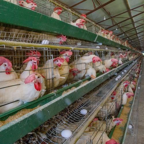 """La production avicole Haïtienne face au """"Dumping"""" des producteurs  Dominicains"""