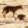 Coyotes McD Mtn