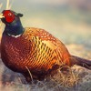 Dave risks his job over a pheasant plucker....